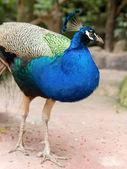 Peacock in tuin — Stockfoto
