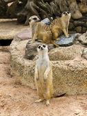 Group of meerkat — Stock Photo