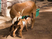 Two baby goat drinking milk from mother — Stock Photo
