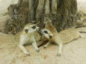 First kiss of meerkat — Stock Photo