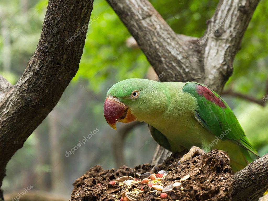 Wild green parrots