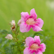 Pink flower flower in the garden — Stock Photo