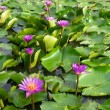 Stock Photo: Pink lotus flowers in pond