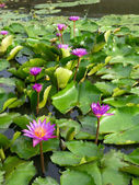 Pink lotus flowers in pond — Stock Photo