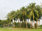 Coconut palms tree on the green field at golf club — Stock Photo