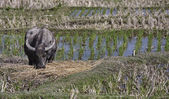 Thailand, Chiang Mai, Baan Tong Luang, Karen village, buffalo in a rise field — Stock Photo