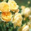 Garden rose — Stock Photo #11118211