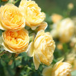 Stock Photo: Garden rose