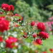 Garden rose - Stock Photo