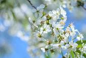 Kwiat wiśni — Zdjęcie stockowe