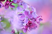Lilac on colorful background — Stock Photo