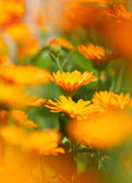 Marigold flower — Photo