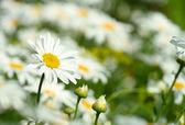Chamomile flower — Stockfoto
