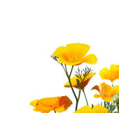 California Poppy isolated on white background — Stock Photo