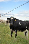 Kansas Dairy Cow by Fence — Stock Photo
