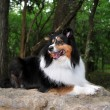 Happy Sheltie Dog Lays on Rock - Stockfoto