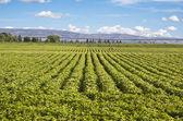 Potato field — Stock Photo