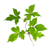 Three Leaves Poison Ivy Isolated — Stock Photo
