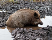 Wild Boar In puddle — Stock Photo