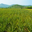 Pineapple farm and blue sky — Stock Photo