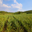 Pineapple farm and blue sky — Stock Photo #11065622