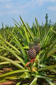 Fresh Pineapple in farm , Tropical fruits — Stock Photo