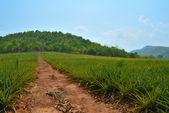Pineapple Farm field — Stock Photo