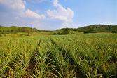 Pineapple farm and blue sky — Stock Photo