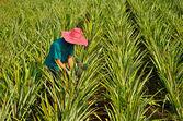 Farmer harvesting in pineapple farm — Stock Photo
