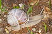 食用蜗牛 — 图库照片