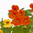 Stock Photo: Nasturtium medicine and salad of abbeys