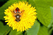 Flower fly on a dandelion — Stock Photo