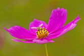 Cosmea with fly — Stock Photo