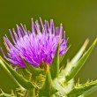 Stock Photo: Holy thistle