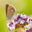 Common blue,  Polyommatus icarus - Stockfoto
