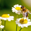 Bee on fever-few — Stock Photo