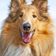 Collie dog — Stock Photo