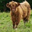 Scottish highland calve — Stock Photo
