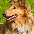 Royalty-Free Stock Photo: Collie dog