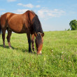 Stock Photo: Horse and Field
