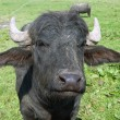 Stock Photo: Black bull