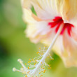 Hibiscus — Stock Photo #11343427