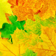Maple leaves — Stock Photo #11514310