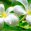 Frangipani - Stock Photo