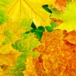 Maple leaves — Stock Photo #11578998