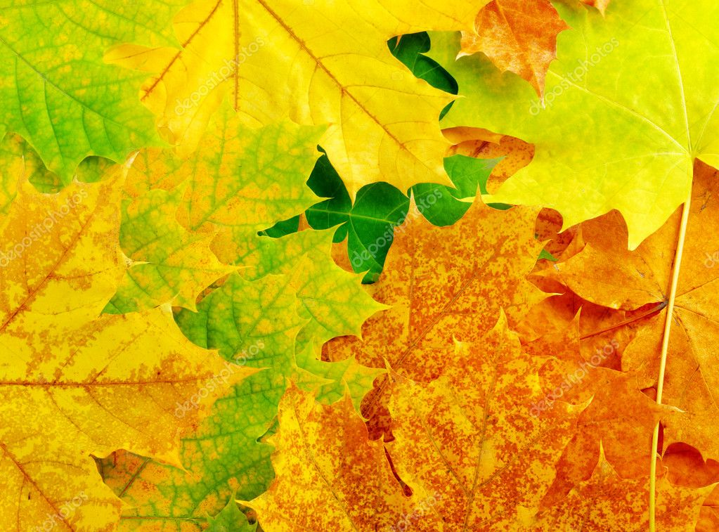Colourful autumn maple leaves. Background.  Stock Photo #11578998
