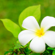 Frangipani — Stock Photo #11611955