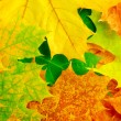Maple leaves — Stock Photo #11817156