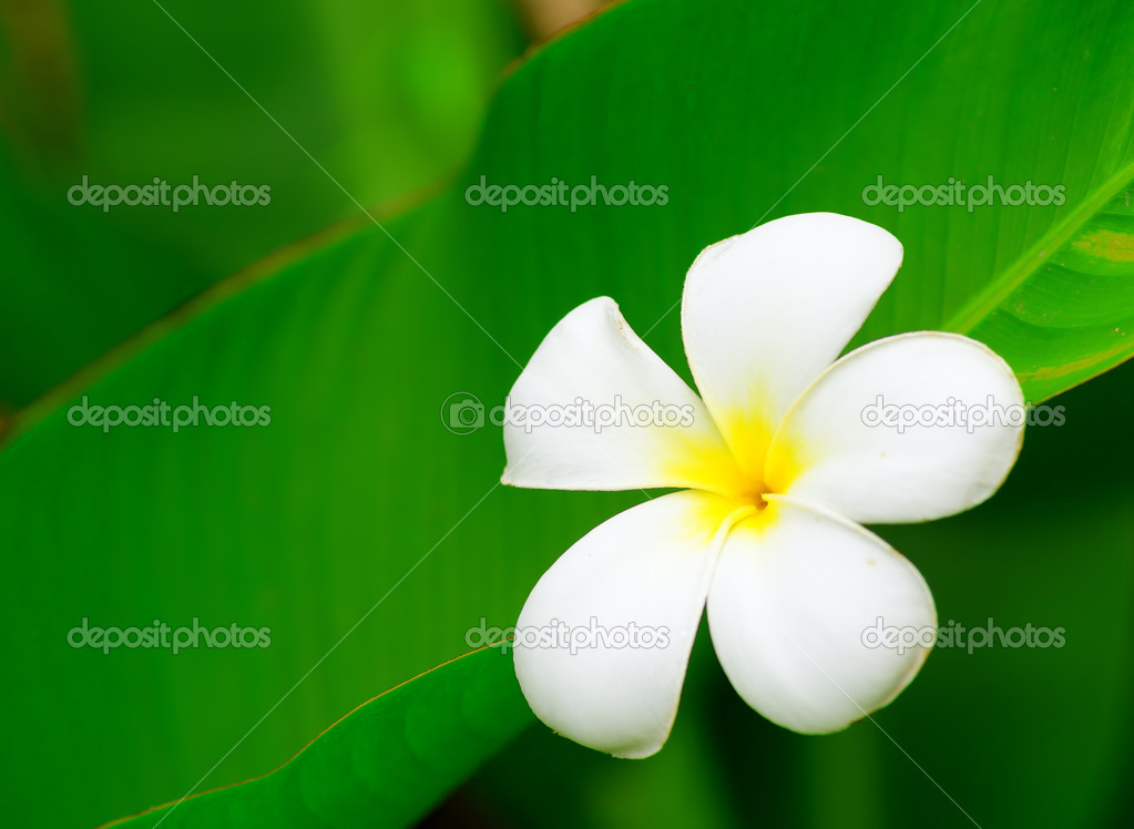 Frangipani flower (Plumeria). Shalow DOF.  Stock Photo #11817179