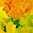 Stock Photo: Maple leaves